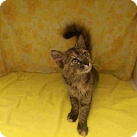 Adopt A Pet :: Tiger Lily-Super Sweet - Arlington, VA