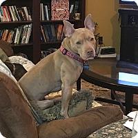 Adopt A Pet :: Annabelle - Raritan, NJ