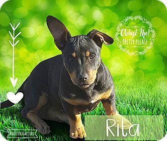 Dachshund/Beagle Mix Puppy for adoption in West Hartford, Connecticut - Rita