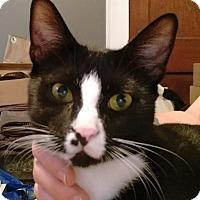 American Shorthair Kitten for adoption in Charlotte, North Carolina - Jasper