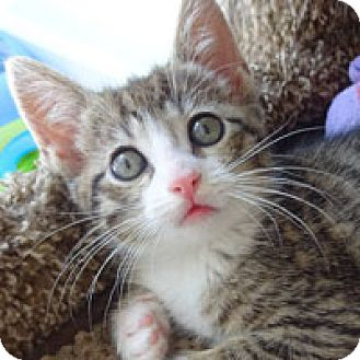 Domestic Shorthair Kitten for adoption in Pacific Grove, California - Dell