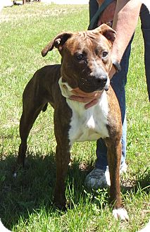 Pit Bull Terrier Mix Dog for adoption in Cheboygan, Michigan - Lilly Rose