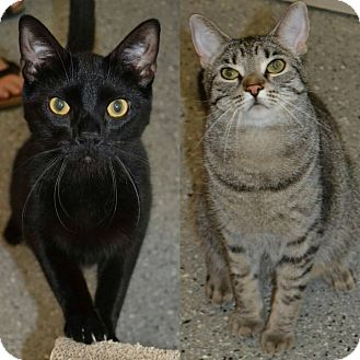 Domestic Shorthair Cat for adoption in Michigan City, Indiana - Malcolm & Ellie