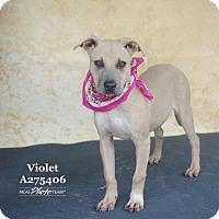 Adopt A Pet :: VIOLET - Conroe, TX