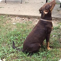 Doberman Pinscher Mix Dog for adoption in Albany, New York - Robbie