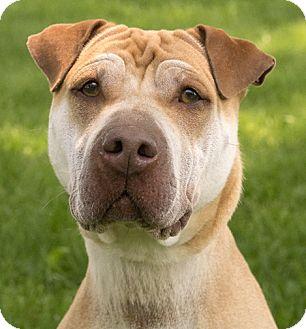 Shar Pei Mix Dog for adoption in Chicago, Illinois - Reba