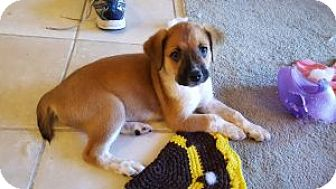 Terrier (Unknown Type, Medium) Mix Puppy for adoption in Pompano beach, Florida - Milly