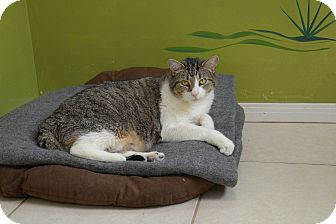 Domestic Shorthair Cat for adoption in Van Nuys, California - Gus