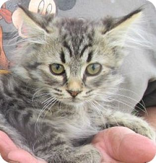 Maine Coon Kitten for adoption in Germantown, Maryland - Harry