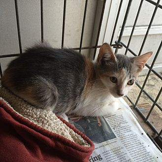 Calico Kitten for adoption in Sunny Isles Beach, Florida - Confetti