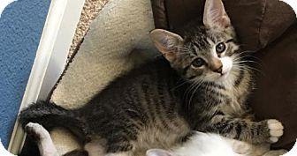 Domestic Shorthair Kitten for adoption in Antioch, California - Trixie