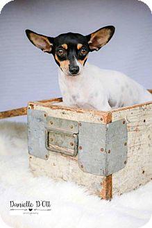 Rat Terrier Mix Dog for adoption in Lake Jackson, Texas - Drogo