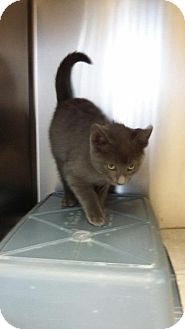 Domestic Shorthair Kitten for adoption in Maquoketa, Iowa - Rickell