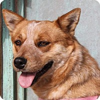 Adopt A Pet :: Cinnamon - Albuquerque, NM