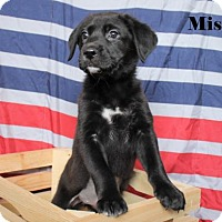 Adopt A Pet :: Missy - Westminster, CO