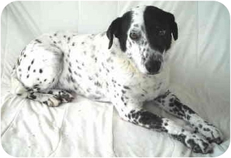 Dalmatian Mix Dog for adoption in Charleston, Arkansas - Gizmo- Dalmation-Senior
