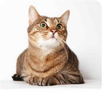 Domestic Shorthair Cat for adoption in New York, New York - Buck