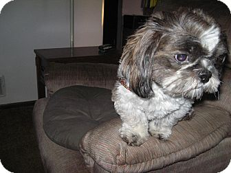 Shih Tzu Dog for adoption in Eden Prairie, Minnesota - Gromit