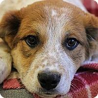 Adopt A Pet :: Appa - Roosevelt, UT