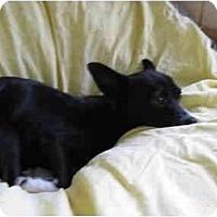 Adopt A Pet :: Cheech - Meridian, ID