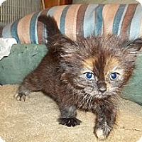 Adopt A Pet :: Fluffy Tortie - Acme, PA