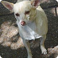 Adopt A Pet :: Stella - Bridgeton, MO