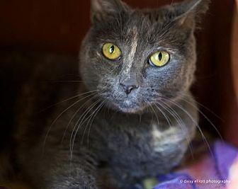 Domestic Shorthair Cat for adoption in Tucson, Arizona - Honey
