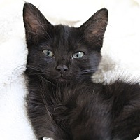 Adopt A Pet :: Darth Vader - Novato, CA