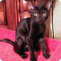 Adopt A Pet :: Domino - Glendale, AZ