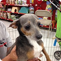 Chihuahua Dog for adoption in Inverness, Florida - Cinderella