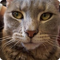 Domestic Shorthair Cat for adoption in Staten Island, New York - George