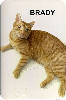 Domestic Shorthair Cat for adoption in Medway, Massachusetts - Brady