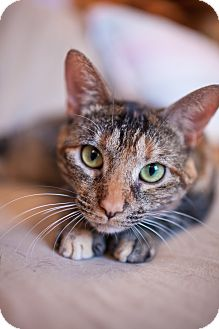 Domestic Shorthair Kitten for adoption in Statesville, North Carolina - Kadie