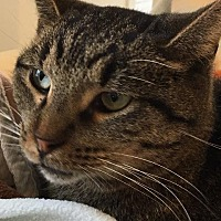 Domestic Shorthair Cat for adoption in Bourbonnais, Illinois - Cutler