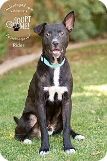 Shepherd (Unknown Type)/Labrador Retriever Mix Dog for adoption in Chandler, Arizona - RIDER