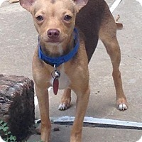 Chihuahua Puppy for adoption in Ardmore, Oklahoma - Diablo