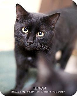 Domestic Shorthair Cat for adoption in Appleton, Wisconsin - Tipton