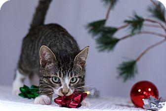 Domestic Shorthair Kitten for adoption in Virginia Beach, Virginia - Porter