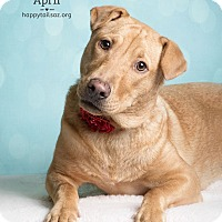 Adopt A Pet :: April - Chandler, AZ