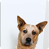 Adopt A Pet :: Rooster - San Luis Obispo, CA
