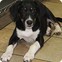 Adopt A Pet :: Freya - Savannah, MO