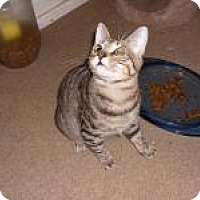 Domestic Shorthair Cat for adoption in Sedalia, Missouri - Winchester