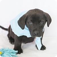 Adopt A Pet :: Bagheara - Bedford, IN