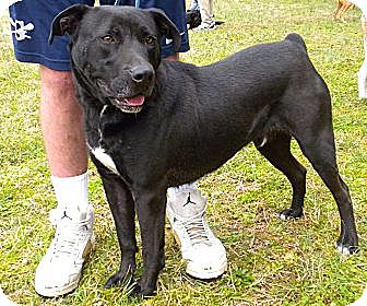 Labrador Retriever/Boxer Mix Dog for adoption in Midlothian, Virginia - Bob de Builder