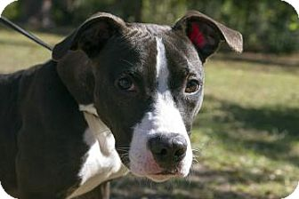 American Pit Bull Terrier Mix Dog for adoption in Gainesville, Florida - Davis
