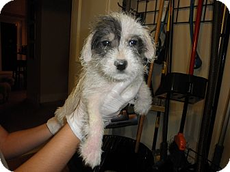 Schnauzer (Miniature)/Terrier (Unknown Type, Small) Mix Puppy for adoption in Miami, Florida - 2 sisters for adoption!