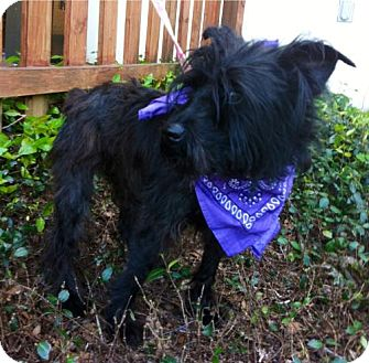 Schnauzer (Miniature) Mix Dog for adoption in Baton Rouge, Louisiana - Darcy