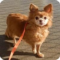 Adopt A Pet :: Bonnita - Shawnee Mission, KS