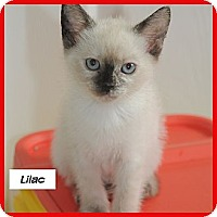 Adopt A Pet :: Lilac - Miami, FL