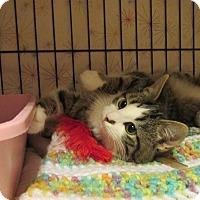 Adopt A Pet :: Barcardi - Acme, PA